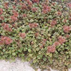 Lampourde à petites feuilles (Acaena microphylla) 'Kupferteppich' (syn. 'Copper Carpet')