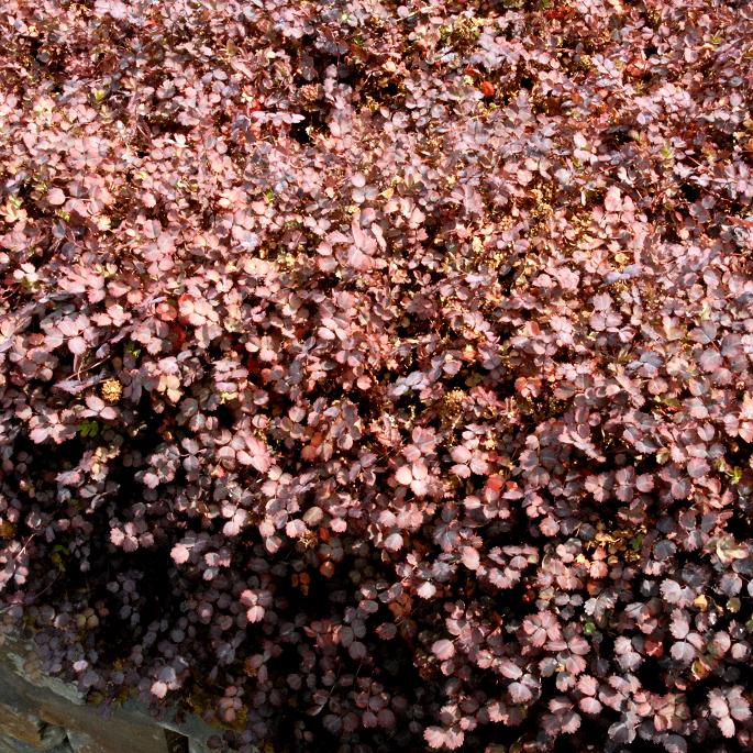Acaena bucchananii Acaena inermis 'Purpurea' (syn. Acaena microphylla 'Inermis')