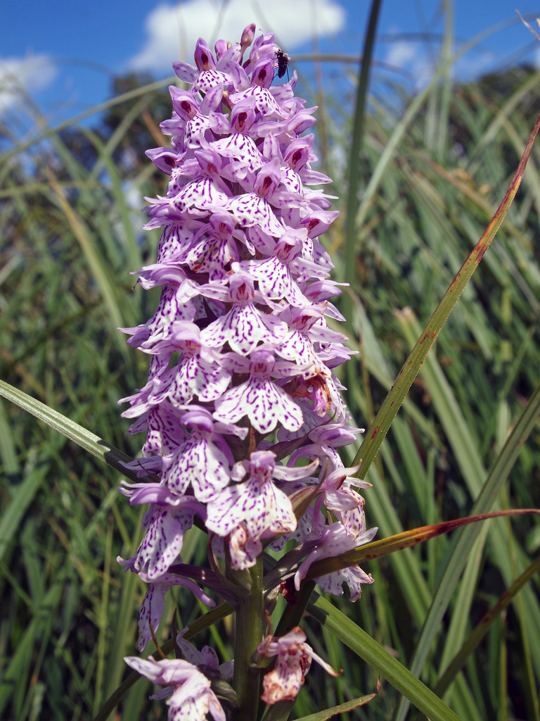 Dactylorhiza planter et entretenir ooreka for Entretenir une orchidee en pot