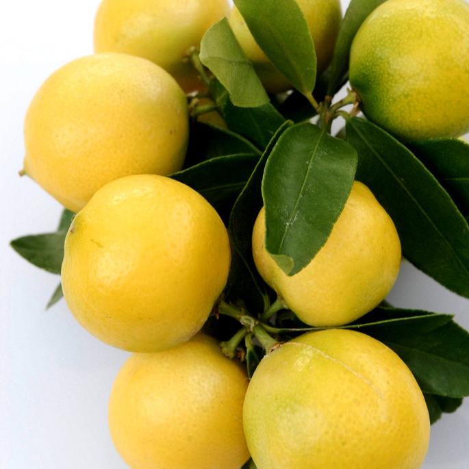 Limonette, limettier doux, citronnier de Menton (Citrus limetta) Espèce type