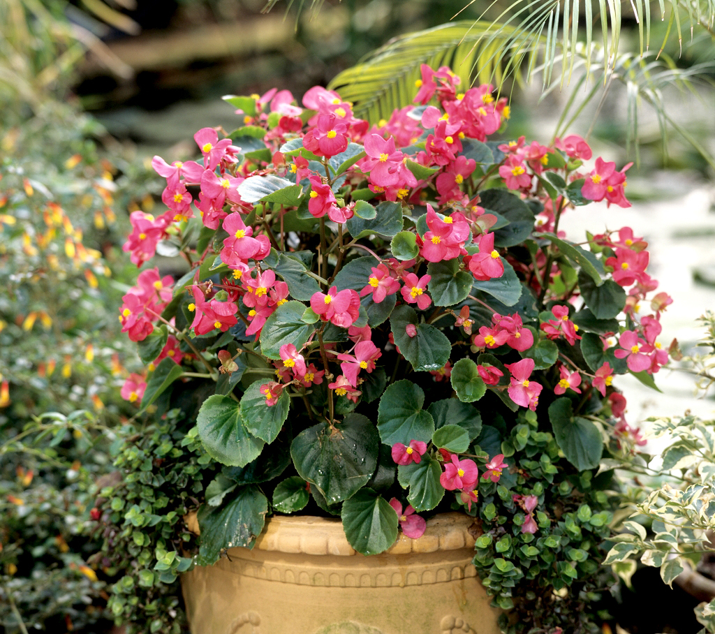 comment planter begonia