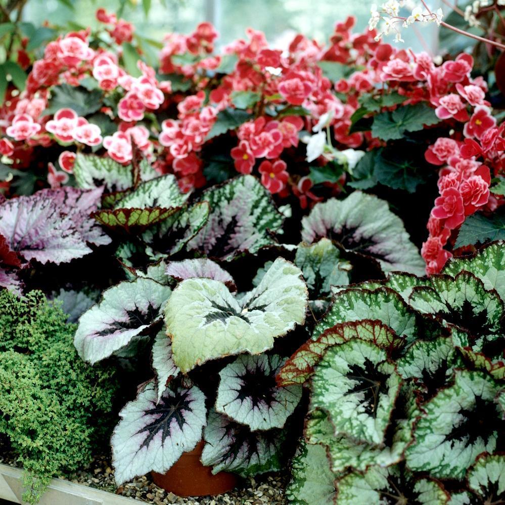 B gonia planter et entretenir ooreka - Begonia d interieur arrosage ...