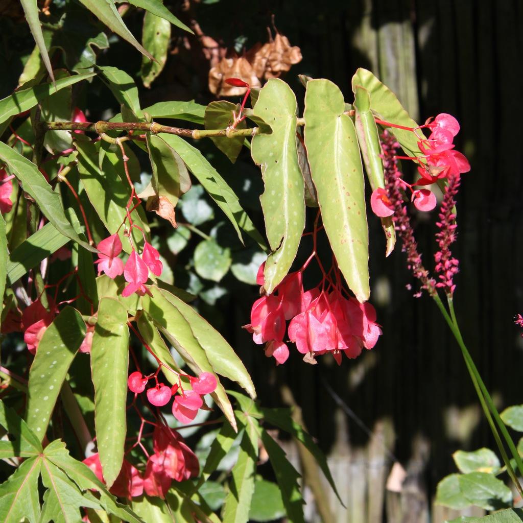 Bégonias d'intérieur Bégonia bambou (Begonia maculata)