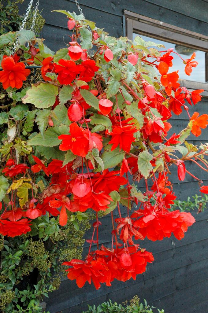 B gonia planter et entretenir ooreka for Plante exterieur fleur rouge