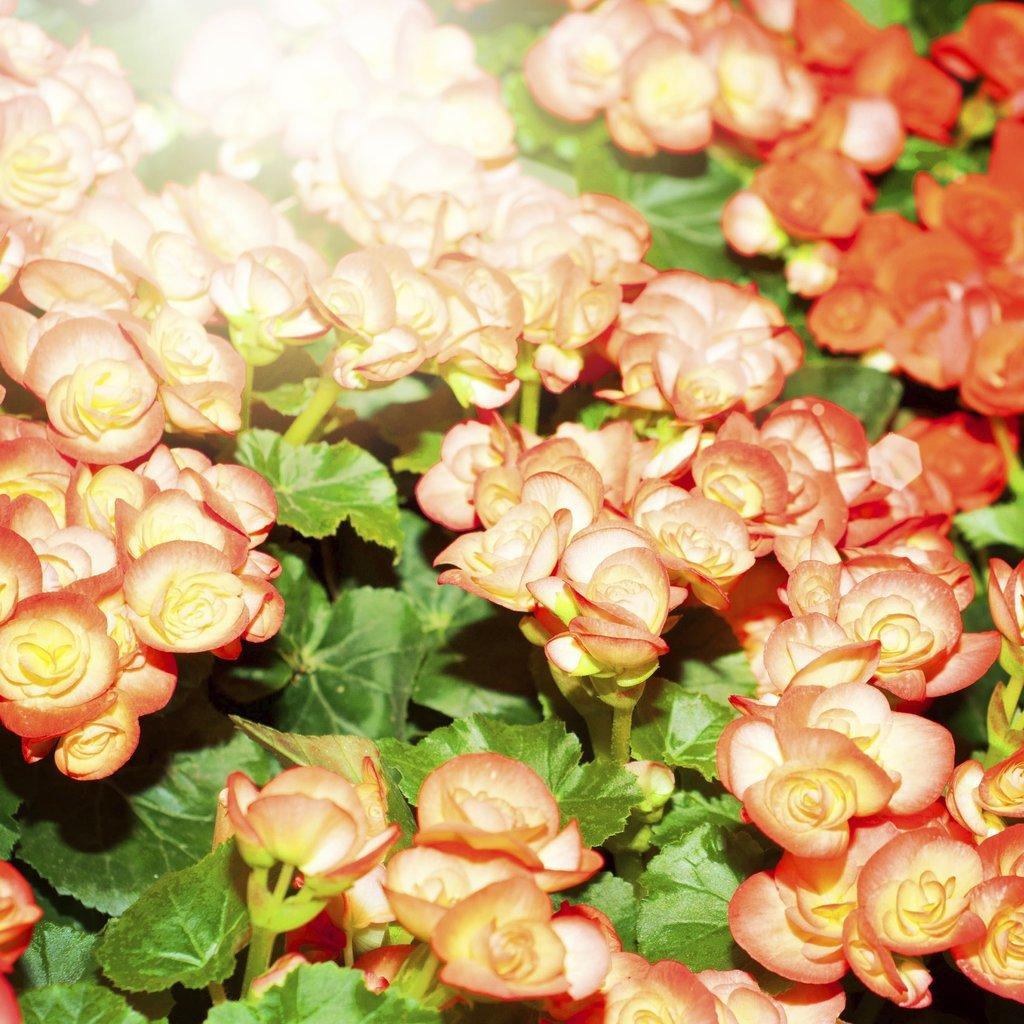 Bégonias d'intérieur 'Gloire de Lorraine' (Begonia Cheimantha Grp.)