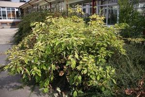 Plantation de <em>Cornus alba</em>