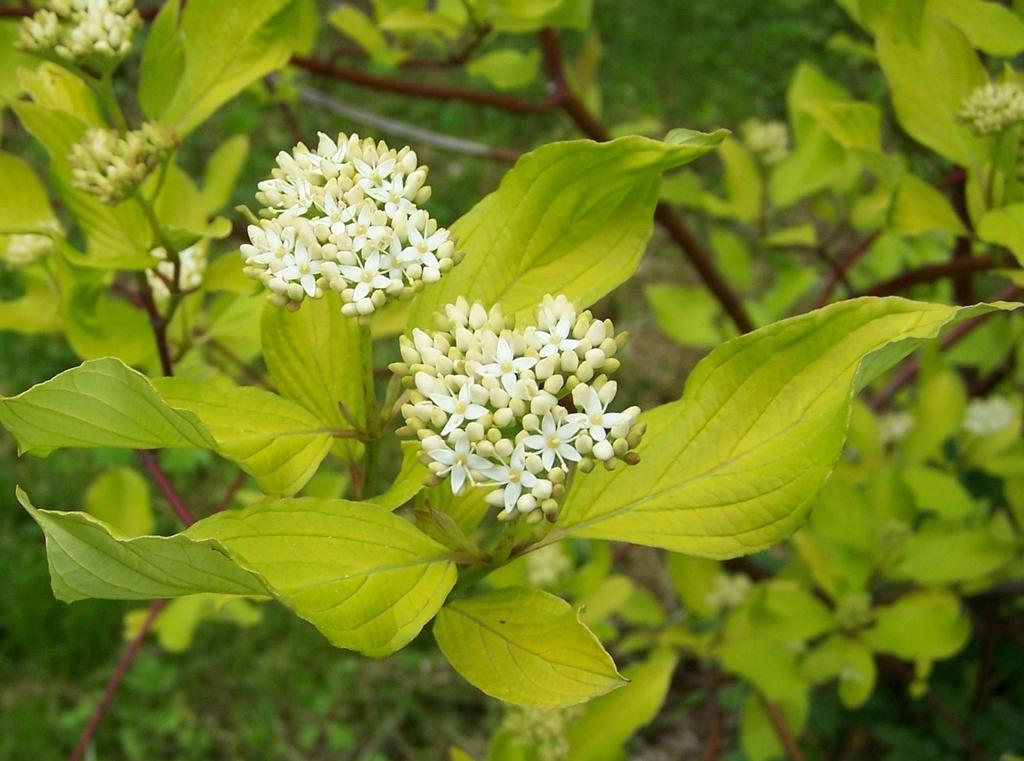 Cornus alba planter et entretenir ooreka for Plante 4 images 1 mot
