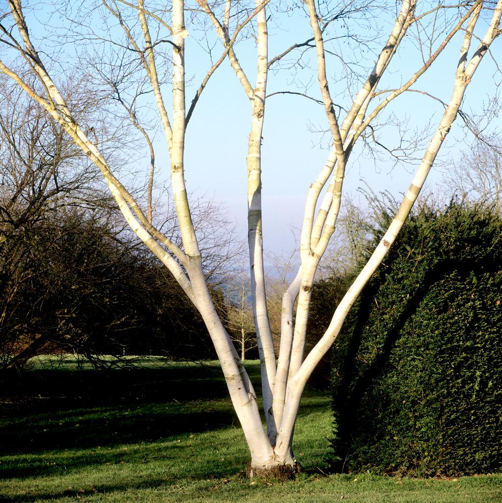 bouleau : planter et tailler – ooreka