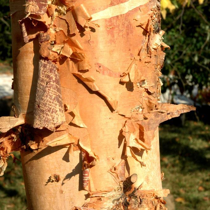Bouleau à écorce remarquable Bouleau noir (Betula nigra 'Heritage')