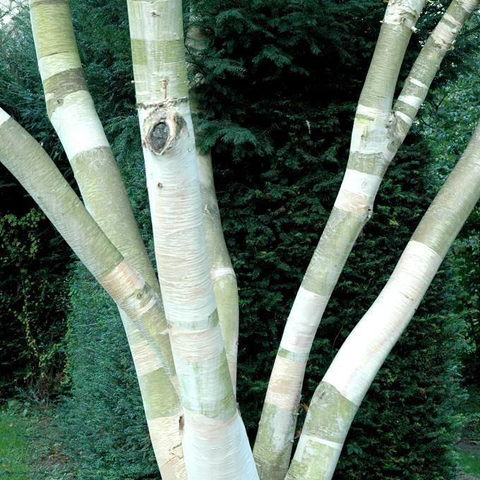 Bouleau à port ou feuillage intéressant Bouleau du Japon (Betula ermanii)