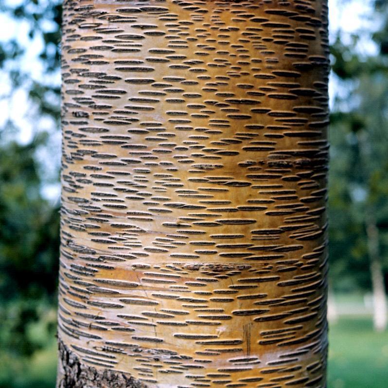 Bouleau à écorce remarquable Bouleau à papier (Betula papyrifera)