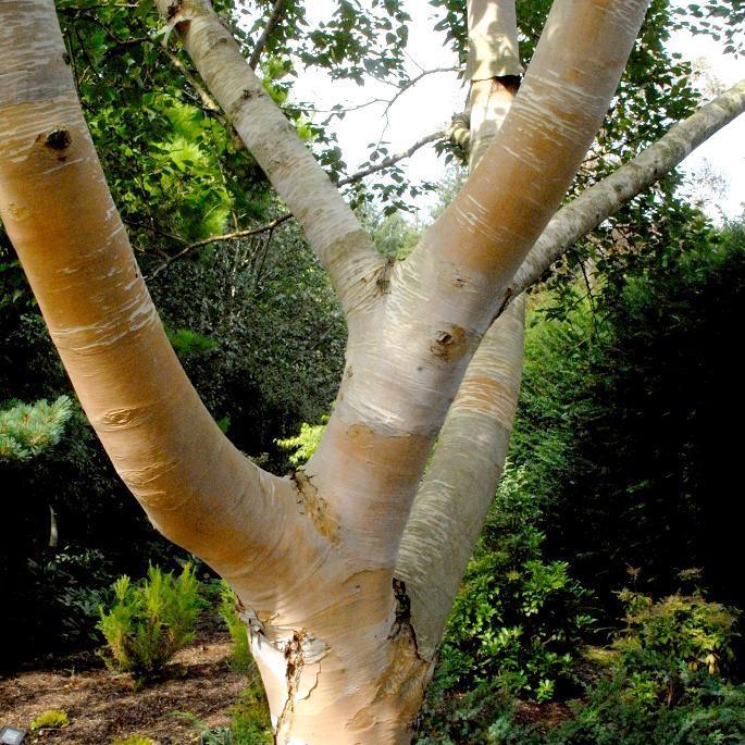 Bouleau à écorce remarquable Betula costata