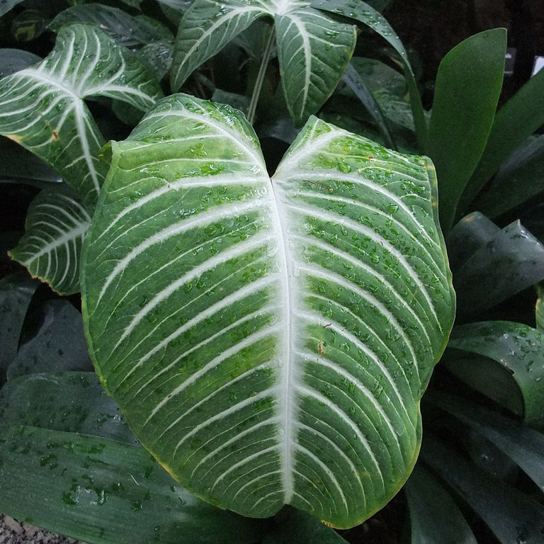 Xanthosoma lindenii (syn. Caladium l.) Espèce type