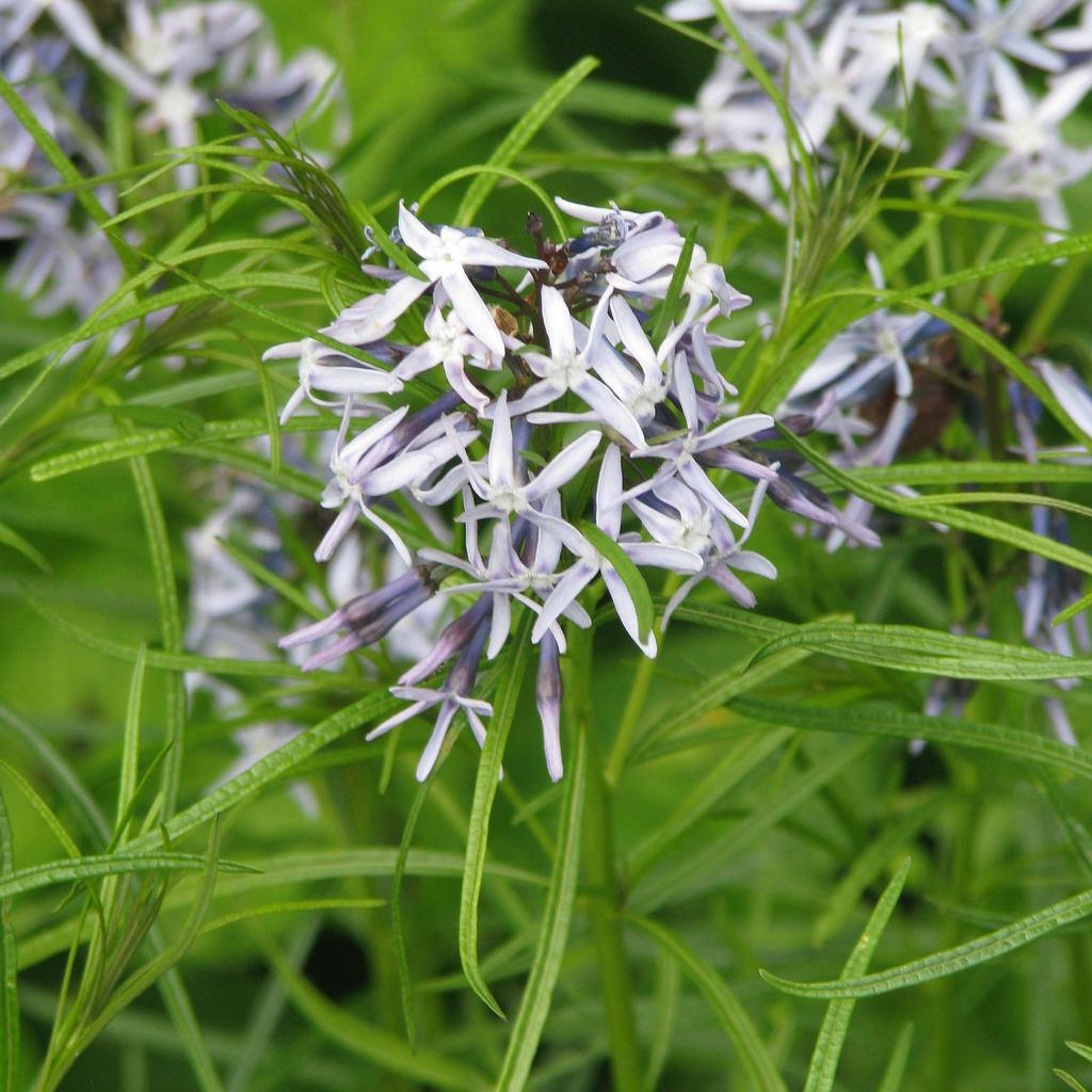 Amsonie de Hubricht (Amsonia hubrichtii) Espèce type