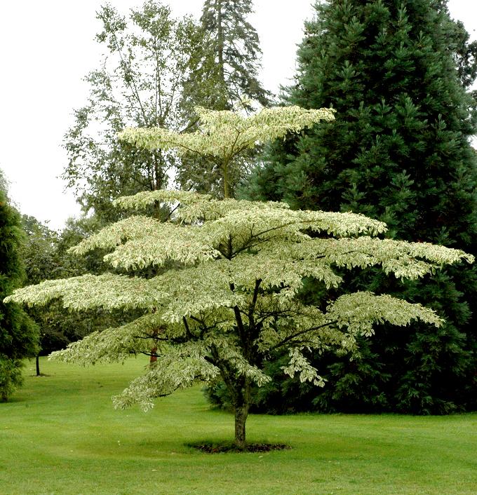 Cornus alternifolia planter et entretenir ooreka for Quand tailler les graminees
