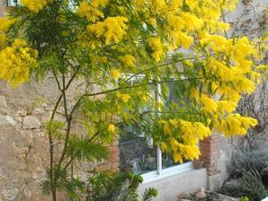 mimosa planter et tailler ooreka. Black Bedroom Furniture Sets. Home Design Ideas
