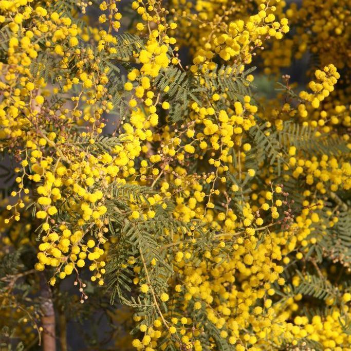 Petites espèces adaptées à la culture en pot Acacia cardiophylla