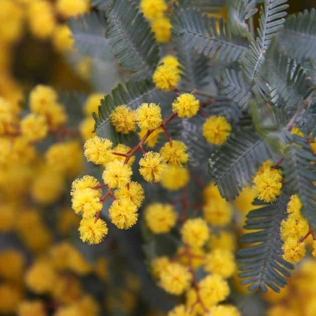 Grandes espèces Mimosa de Bailey (Acacia baileyana)