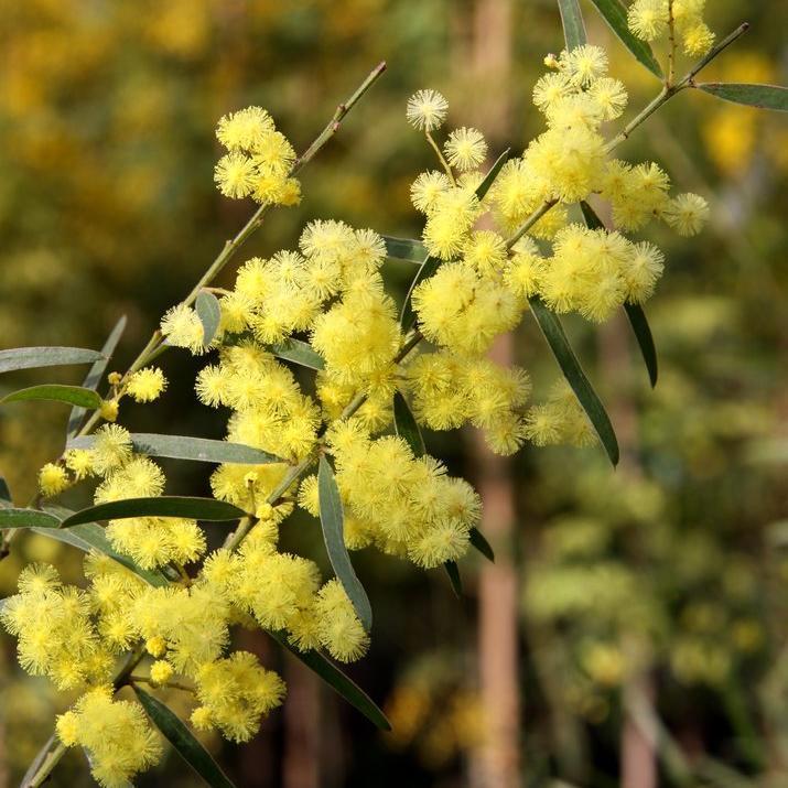 Grandes espèces Mimosa poisseux (Acacia howitii)