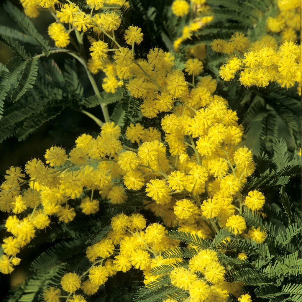 Grandes espèces Mimosa des fleuristes (Acacia dealbata)