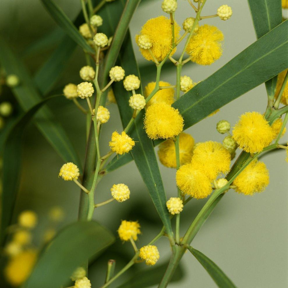 Mimosas de semis pour sols calcaires Mimosa des 4saisons (Acacia retinodes)