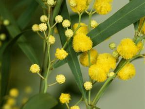 Multiplication du mimosa