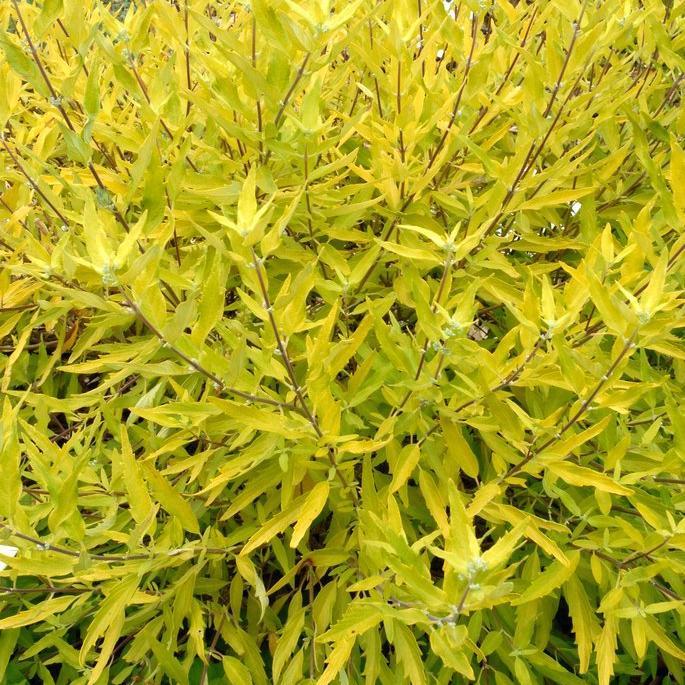 Caryopteris x clandonensis 'Summer Gold'