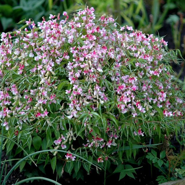Gesse de printemps, gesse printanière, orobe printanier (Lathyrus vernus) 'Variegatus' ou Lathyrus cyaneus 'Alboroseus'