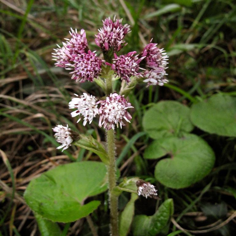 Espèce à petites feuilles Héliotrope d'hiver (Petasites fragrans)