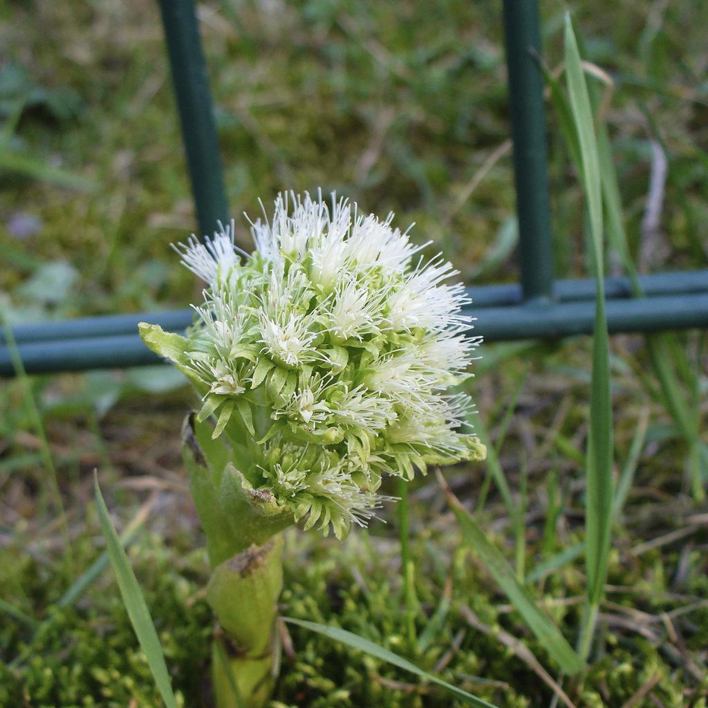 Espèce à grandes feuilles Pétasite blanc (Petasites albus)