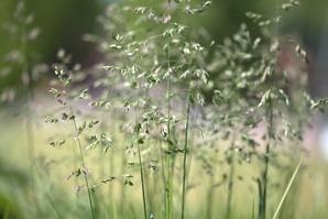Semis et plantation de <em>Sesleria autumnalis</em>