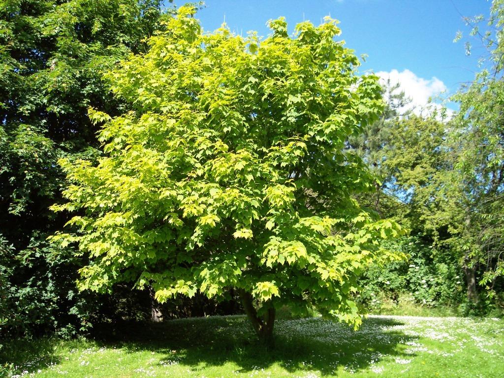 Érable : planter et tailler − Ooreka