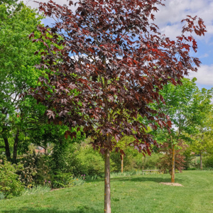 Variétés de forme élancée Érable plane fastigié (Acer platanoides 'Columnare')