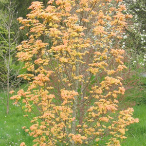 Variétés de petite taille Sycomore à crevettes (Acer pseudoplatanus 'Brillantissimum')