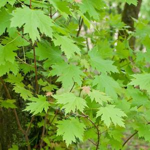 Variétés de grande taille Érable à sucre (Acer saccharinum ou virginianum)