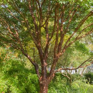 Variétés de taille moyenne Érable canelle (Acer griseum)
