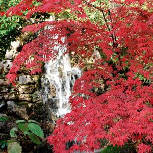 Variétés de taille moyenne Érable rouge (Acer rubrum)