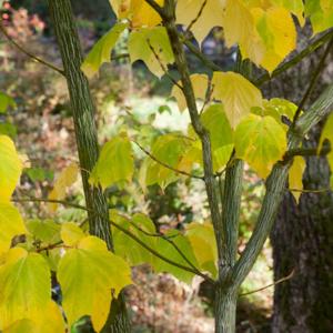 Variétés de taille moyenne Érable jaspé (Acer pennsylvanicum)