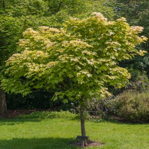 Variétés de grande taille Érable sycomore (Acer pseudoplatanus)