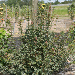 Variétés de taille moyenne Érable champêtre (Acer campestre)