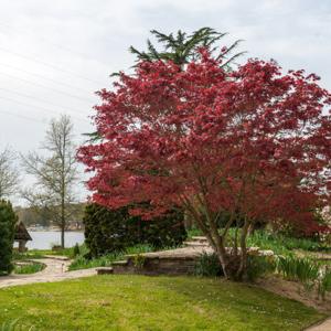 Variétés de petite taille Érable du Japon (Acer palmatum)