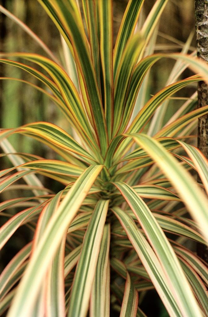 Cordyline planter et cultiver ooreka for Plantes vertes hautes