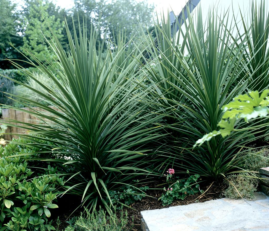 Quelle Plante Mettre Dans Un Grand Pot Exterieur cordyline : planter et cultiver – ooreka