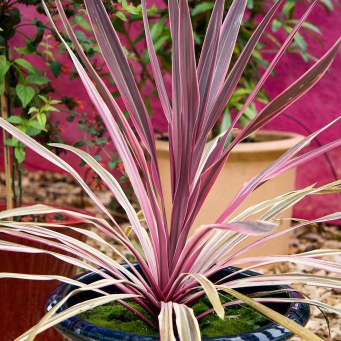 Cordyline australis 'Southern Splendour', 'Sunrise', 'Charlie Boy', 'Pink Passion'