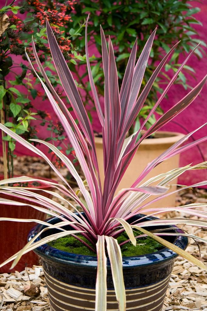 Cordyline planter et cultiver ooreka - Cordyline feuilles qui jaunissent ...