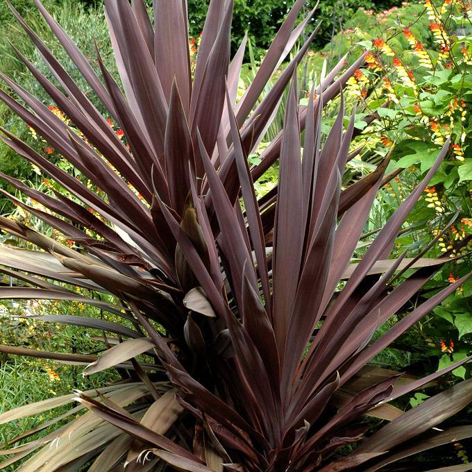 Cordyline australis 'Red Star', 'Renegade Tana', 'Purple Tower', 'Burgundy Spire'