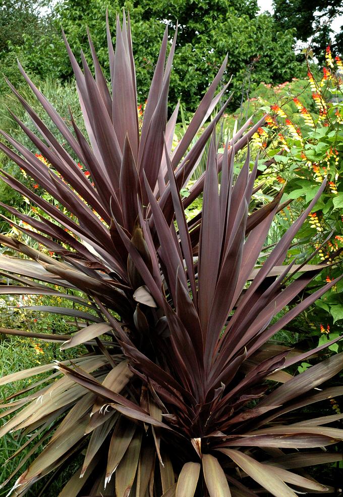 Cordyline planter et cultiver ooreka for Maladie palmier interieur