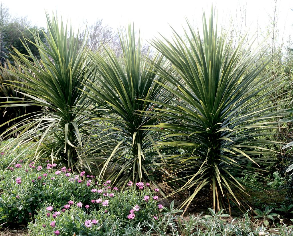 Cordyline planter et cultiver ooreka for Yucca exterieur