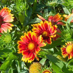 Variétés naines Gaillardia aristata 'Arizona Sun'