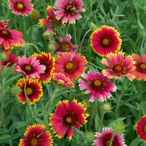 Variétés annuelles Gaillarde pulchella (Gaillardia pulchella)